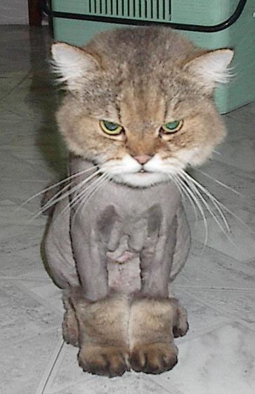 The funny shaved cat picture bangin lovely body