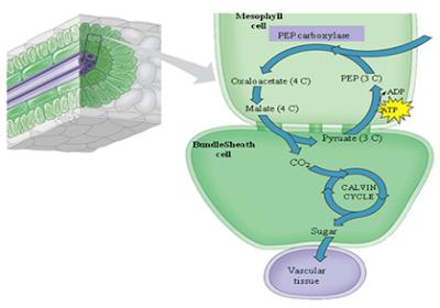Biosintesis Sukrosa pada Tanaman Tebu, sukrosa adalah, gula pada tebu, sumber gula dari tebu, tanaman C4, asimilasi, Rangkaian biosintesis sukrosa dalam bundle sheath cell tanaman tebu karbon tanaman C4, asimilasi karbon dari tebu, tebu transgenik, sintesis sukrosa, enzim Sucrose phosphate synthase, SPS, enzim SPS adalah, SPS pada tebu, Translokasi atau Transportasi Sukrosa Pada Tanaman Tebu, Sucrose transporter, SUT, Protein SUT, Bambang sugiharto tebu transgenik, tebu transgenik, akumulasi sukrosa, transport sukrosa, cara tebu menyimpan gula