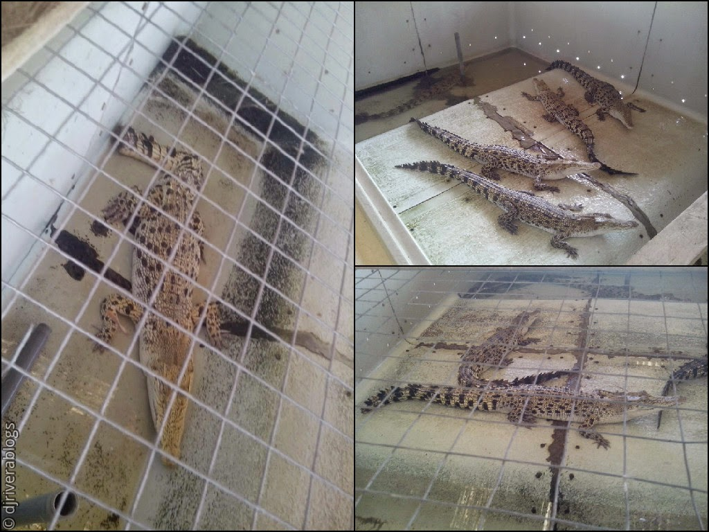 Baby crocodiles of Crocodile Farm, Palawan