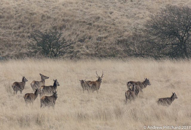 A young stag with short antlers with a group of mixed deer walk through the tall yewllow moorland grass.