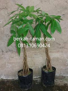 jual pohon pachira money tree