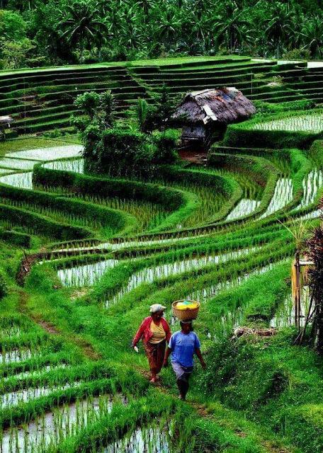 Pemandangan Sawah Indah di Desa Pematang Hijau
