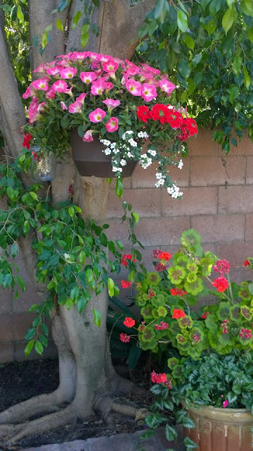 hanging flower basket, Southern California garden