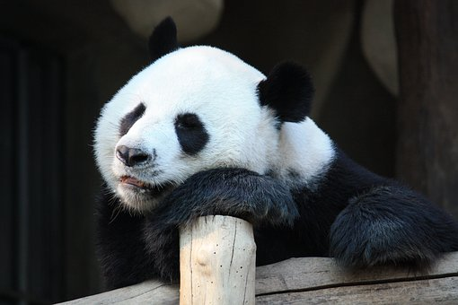 pandas terrible animal parents worse than you funny mom blog post by Mommy Cusses