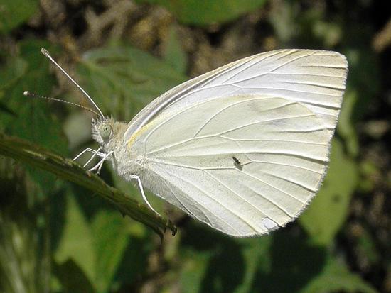 Blanca de la col, Pieris brassicae