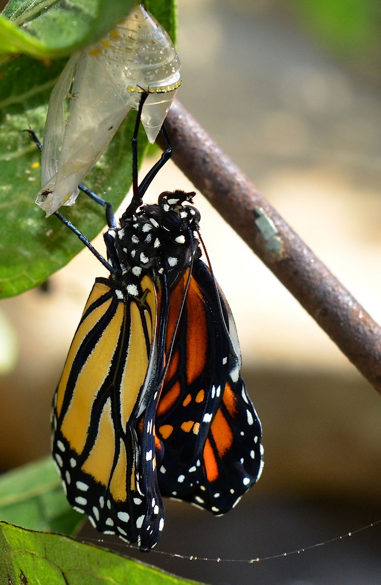 Dangling from the spent chrysalis, the newly born butterfly dangles to let the wings dry and expand.