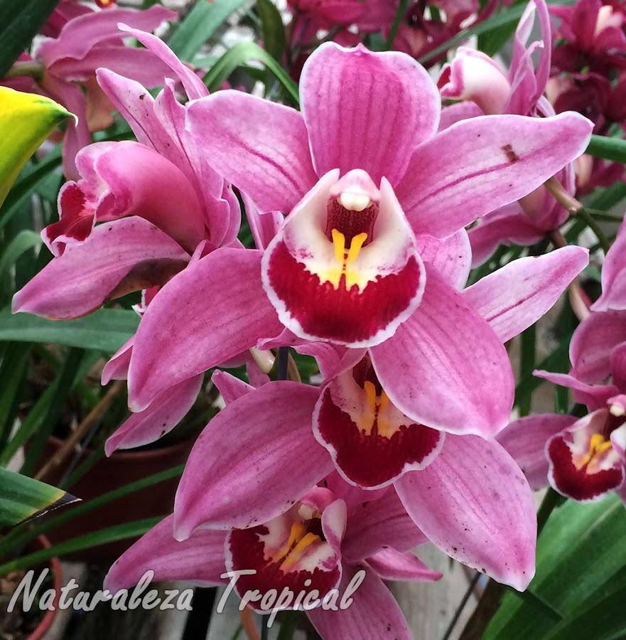 Flores típicas del híbrido comercial Cymbidium Clarisse Best Pink