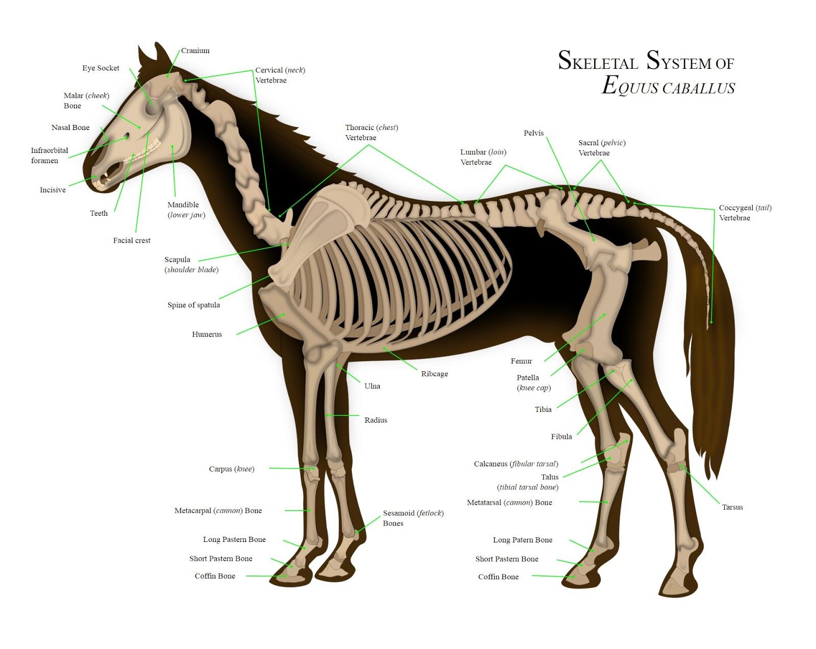 Mammals Animals: Horse anatomy