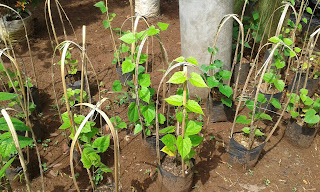 Jual Pohon Srigading,Jual Pohon Dolar,Jual Pohon Sirih Merah,Jual Pohon Thunbergia,Jual Pohon Air Nata Pengantin,Jual Tanaman Rambat