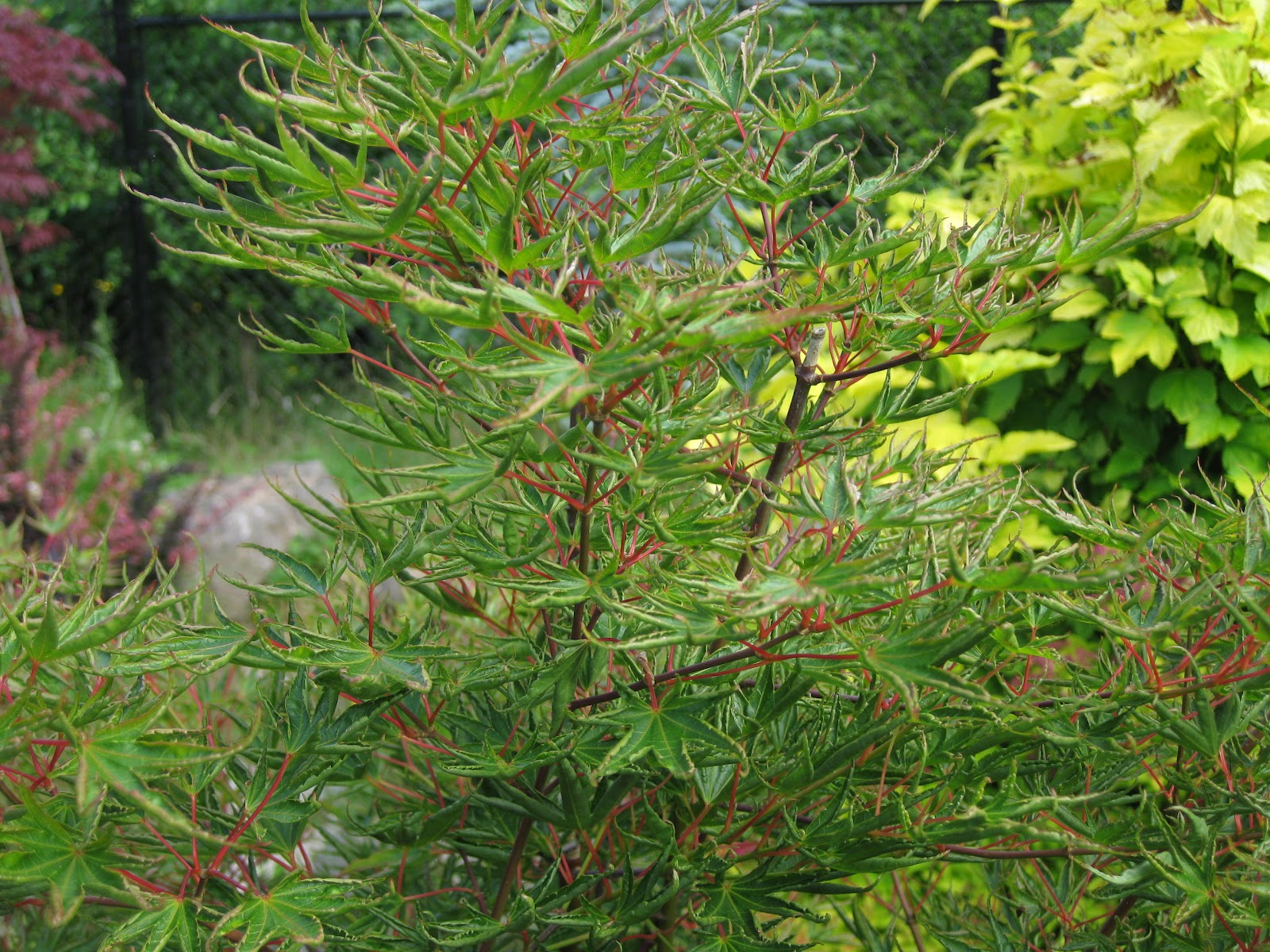 Marys Maples Acer Palmatum Okushimo Crispa