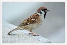 Tahukah Kamu Klasifikasi Dan Penjelasan Burung Gereja Passer Domesticus