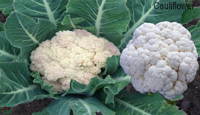cauliflower; cauliflower vegetable