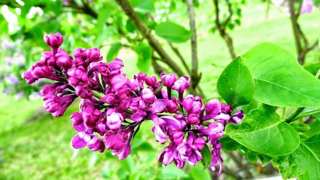 Violetta žydinčios alyvos