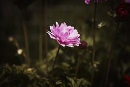 anemone-1626798__180.jpg