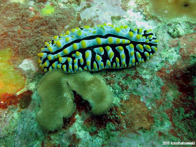 Phyllidia nudibranch, tropical waters, scuba diving, thailand, andaman sea, koh lipe, environmental friendly,