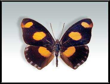 mariposas argentinas Mariposa terciopelo Catonephele numilia