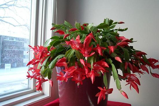 Chậu hoa càng cua nở rực rõ trong nhà