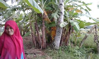 Jenis pisang awak atau gedah serta Kegunaannya