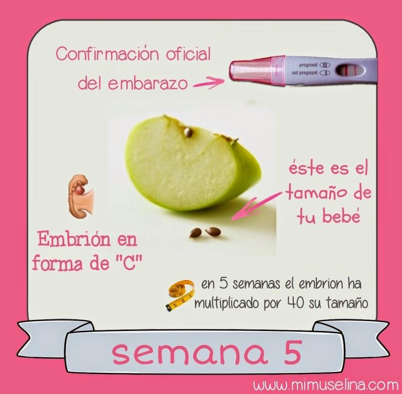 semana 5 embarazo tamaño embrion bebe mimuselina