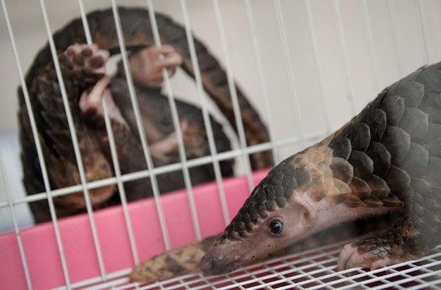 Shy pangolins need world spotlight to survive