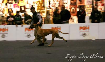 exposicion canina de Valencia 2015 BIS JOVEN, dogo aleman.