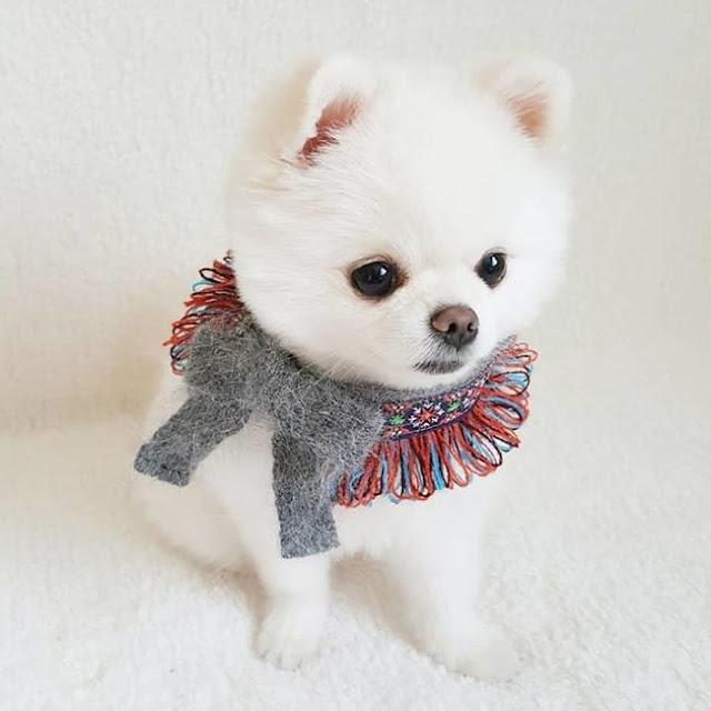 Làm quen với chú chó phốc sóc xinh như thú bông