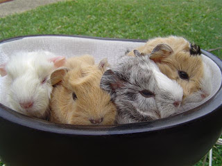 Abyssinian Guinea Pig Babies