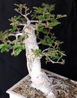 http://evoluzionebonsai.blogspot.it/2013/08/bonsai-di-fico-ficus-carica.html