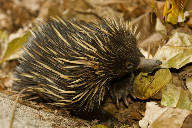 Eyeing echidnas to help shed new light on mammal evolution