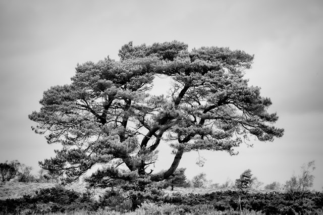 Studland Nature Reserve tree portrait in monochrome