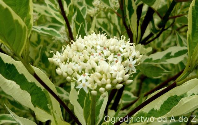 Cornus alba 'Elegantissima'