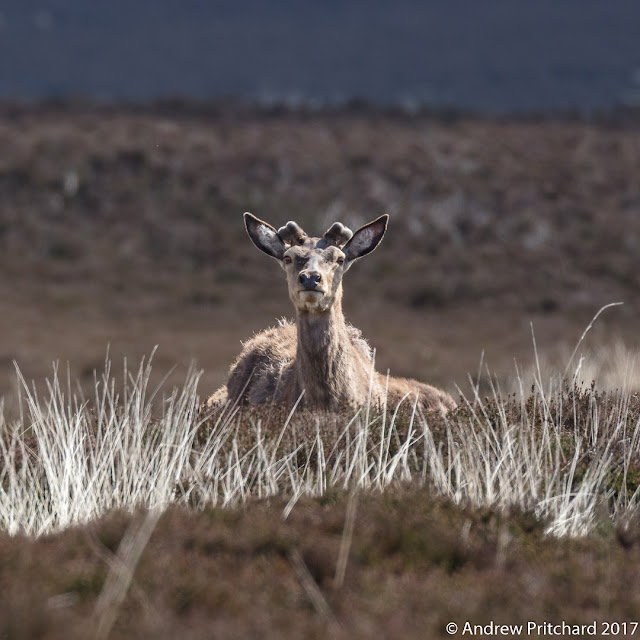 A stag with pedicles angled at about forty five degrees looks across the moor.