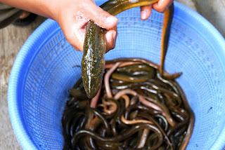 tips trik cara rahasia memancing belut