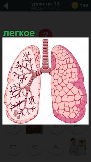 Расположение в организме легкое с кровеносными сосудами