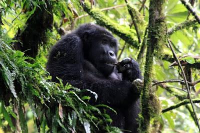 4 days Rwanda uganda gorilla trekking tour, track gorilla uganda rwanda, rwanda uganda gorilla safari,  uganda gorilla tour rwanda, primates tour uganda rwanda cheap Gorilla trek Rwanda,mid-price uganda Rwanda gorilla tour, gorilla safari, budget tour rwanda, uganda rwanda tour operator, uganda  gorilla tour agent, gorilla,