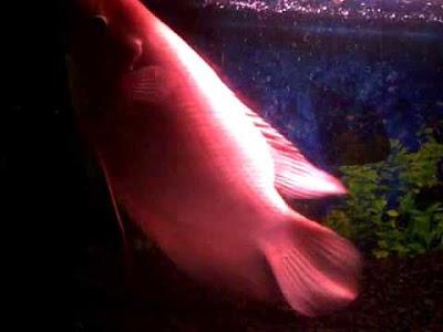 Cara Budidaya Ikan Gurame Merah Padang dan Prospek Usahanya