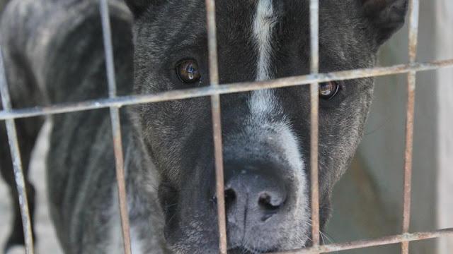El perro robado y usado para peleas ilegales que nadie quiere adoptar
