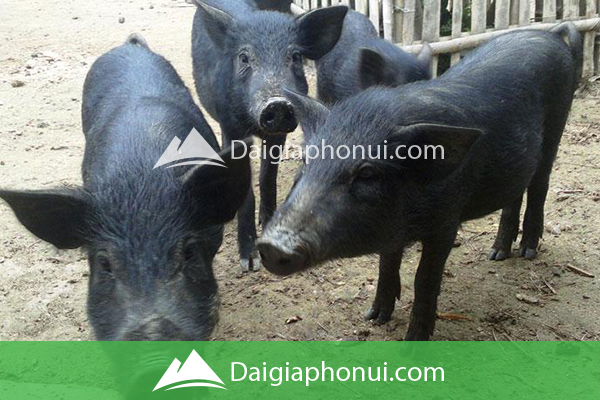 Lợn Rừng Lai - Dai Gia Pho Nui