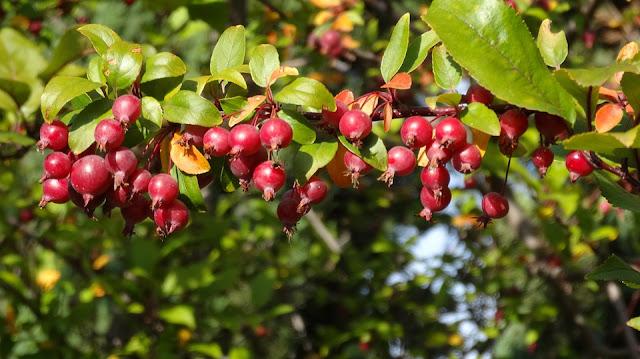 crabapple-fruit.jpg