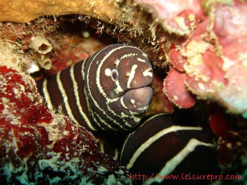Gambar, Foto  Belut Laut Moray Dan Belut  Conger Dari Berbagai Samudra-Zebra Moray