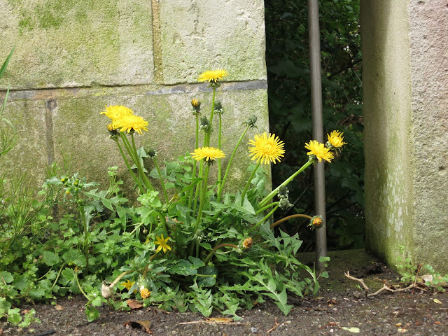 Flowering dandelions at top of Nothe Steps, Weymouth