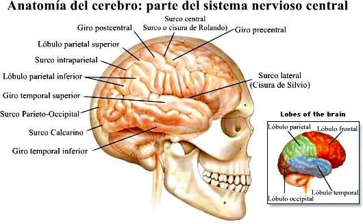 Anatomía del sistema nervioso central humano