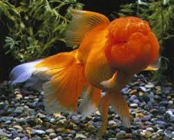 Cara Menumbuhkan Jambul Ikan Mas Koki Dengan Mudah