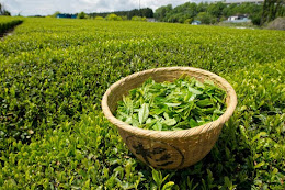 Genuine Japanese Grown Fresh Green Tea