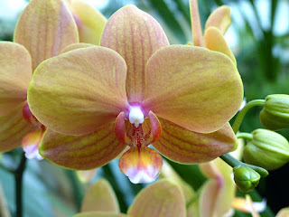 Phalaenopsis Taisuco Glory x Phalaenopsis Taisuco Carmine