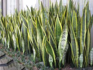 Sansevieria  pedang-pedangan | salah satu tanaman yang dapat menyerap racun di dalam ruangan | tukang taman dan tanaman
