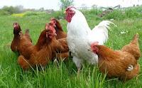 Informasi Telur: Ayam adalah mahluk sosial