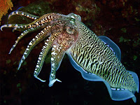 Cuttlefish Animal Pictures