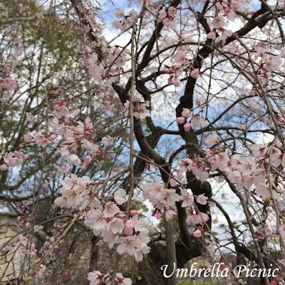 大阪城公園桜20160329写真