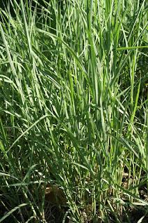 Miscanthus sinensis 'Silberfeder' - Roseau de Chine - Eulalie - Miscanthus de Chine